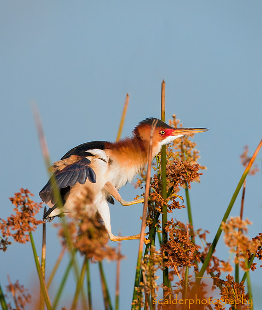 Male Least Bittern clinging to reeds in evening light