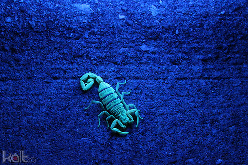 Striped Scorpion at Night | by Cold417
