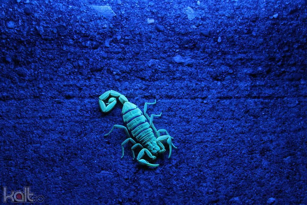 Striped Scorpion at Night