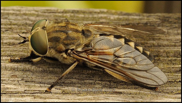 Large Marsh Horsefly -Tabanus autumnalis