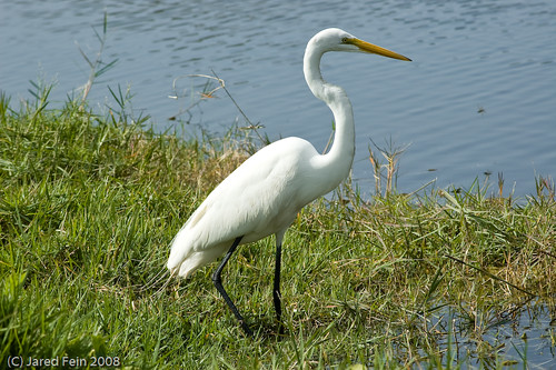 white black bird nature birds florida plantation egret avian greategret sewerdoc ©jaredfein