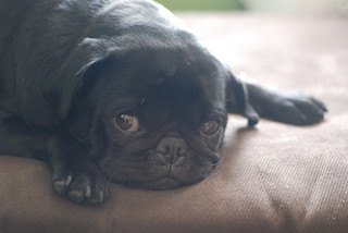 thatcher the pug chilling