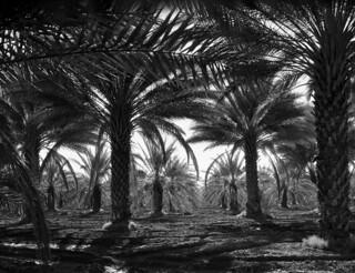 Dorothea Lange: Date palms, Coachella Valley, California, 1937