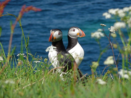 Puffin pair | by wplynn