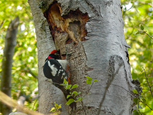 Greater-spotted Woodpecker | by P. Stubbs photo