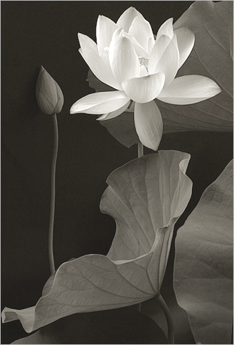 On Black White Lotus Flower Img0286 Bw By Bahman Farzad Large