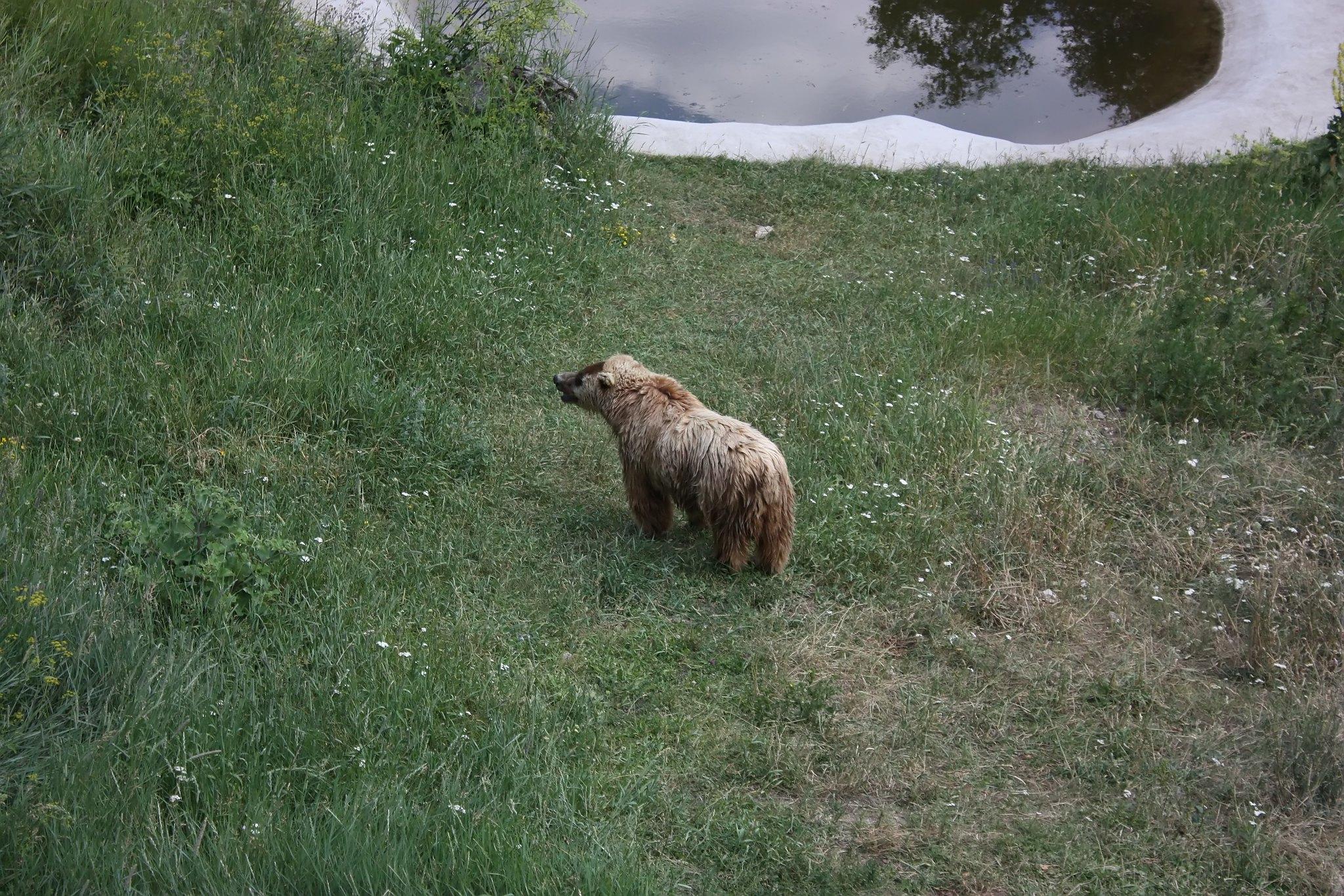 танцуващи мечки Белица