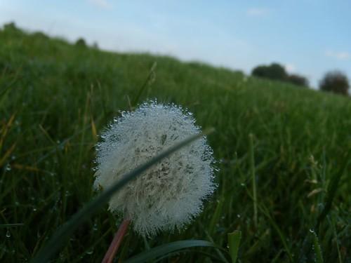 Dewy dandelion Cowden to Eridge