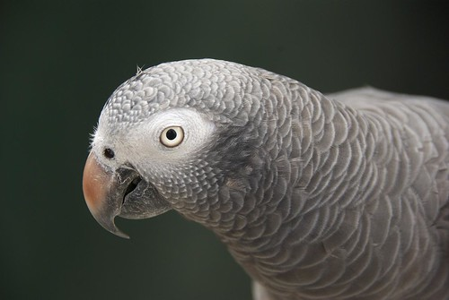 Flint the African Grey Timneh   by johncpiercy
