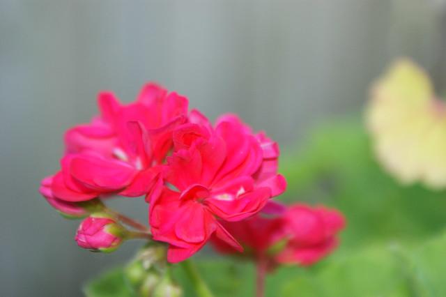 Another shot of the geranium