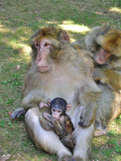 The monkey family - Monkeys mountain in Kintzheim (Alsace, France)