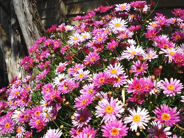 The bush of pink flowers