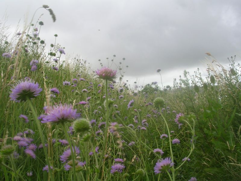Scabious Lewes to Berwick via West Firle