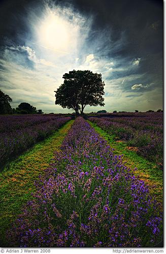 flowers landscape iso100 lavender getty 2008 hdr canonefs1022mmf3545usm 3xp lavenderfields photomatix tonemapped f67 1125s 3exp canoneos400ddigital mayfieldlavender lavendulaaugustifolia
