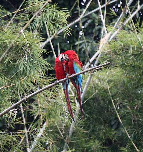 IMG_8367_1 red and green macaws | by joel n rosenthal