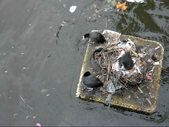 coots on a raft