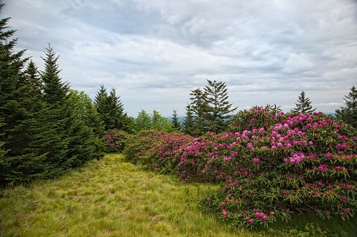 Rhododendron on Roan Mountain | by Jim Liestman