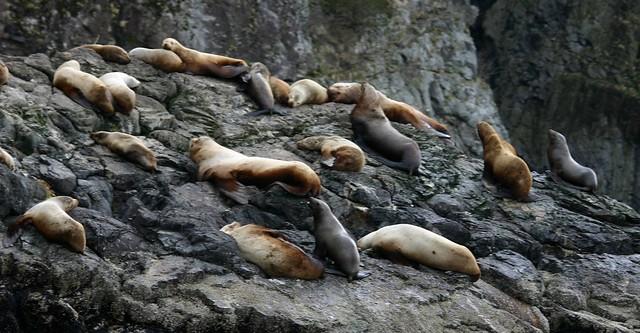 Stellar sea lion colony in Resurrection Bay