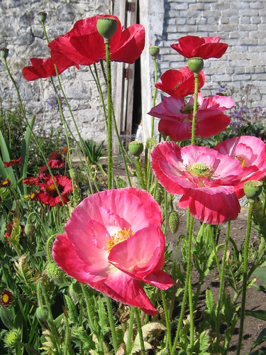Poppies   by Salticidae