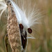 Old Man Milkweed by Aynchent1