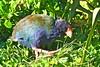 Takahe (Notornis) (Porphyrio mantelli) by Paul Vandenberg