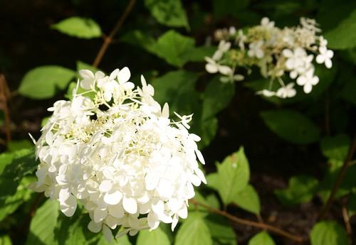 White Hydrangea paniculata / Witte Hydrangea paniculata   by Mark Creeten