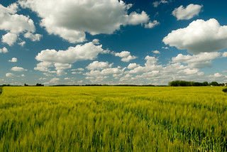 Wheat field | by theaucitron