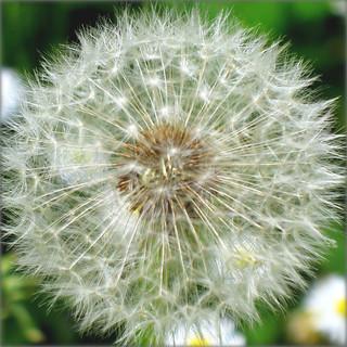 Blowball of a Dandelion - A White Wonder