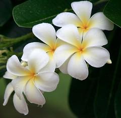Monsoon Flower | by nolene