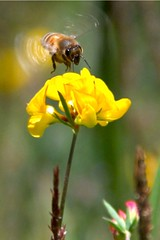 Busy bee | by wolfpix