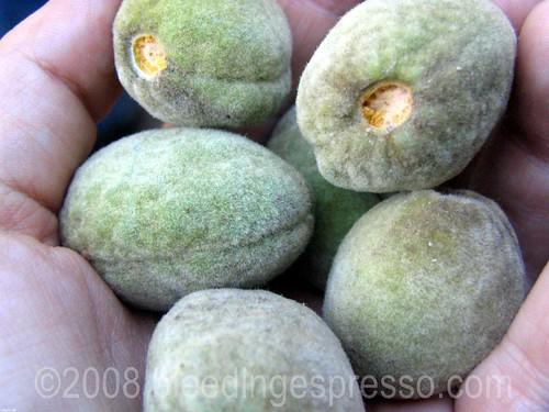 Almonds fresh off the tree   by Michelle Fabio