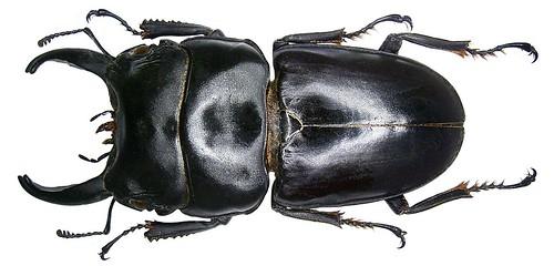 Dorcus arfakianus (Lansberge, 1880) male   by urjsa