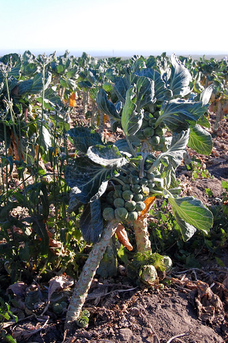 Brussel Sprouts Growing in the Field | by Susan Sharpless Smith