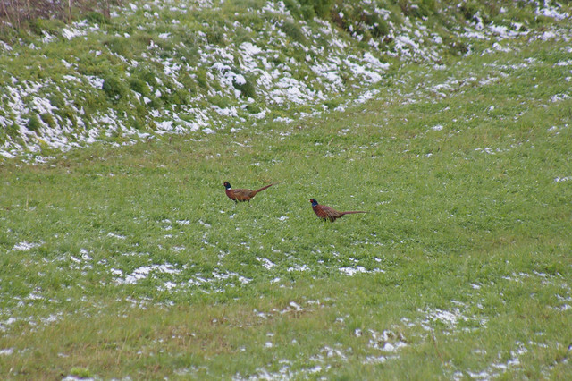 Bażanty / Pheasants
