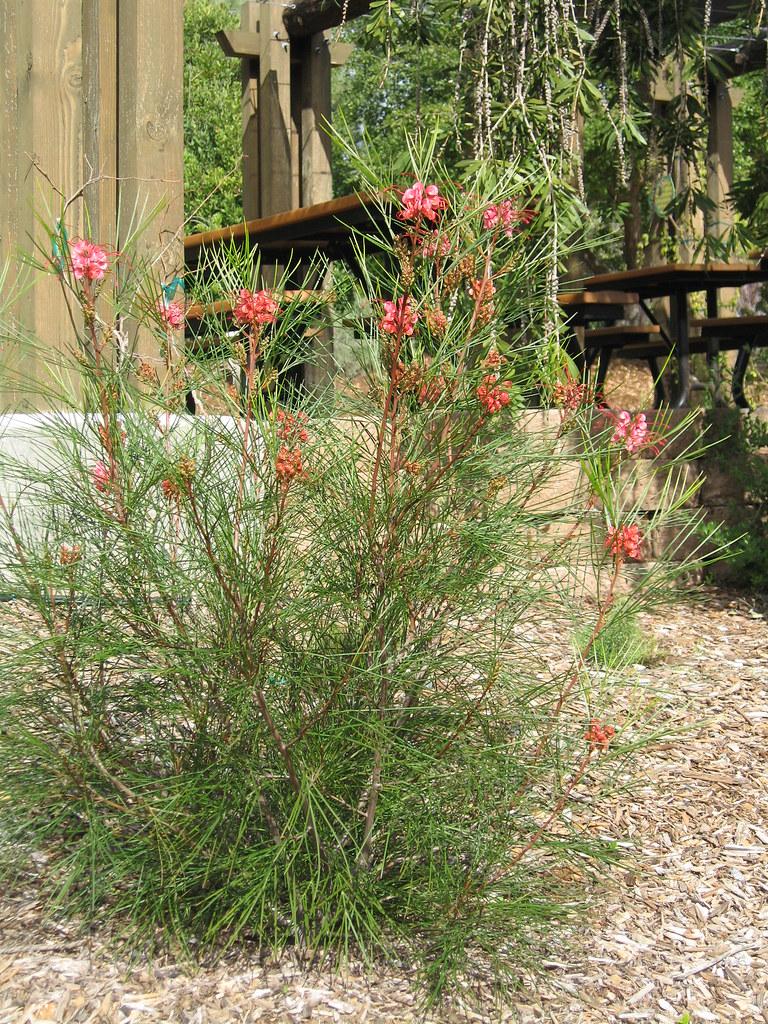 Grevillea Long John Ucla Plant Materials Flickr