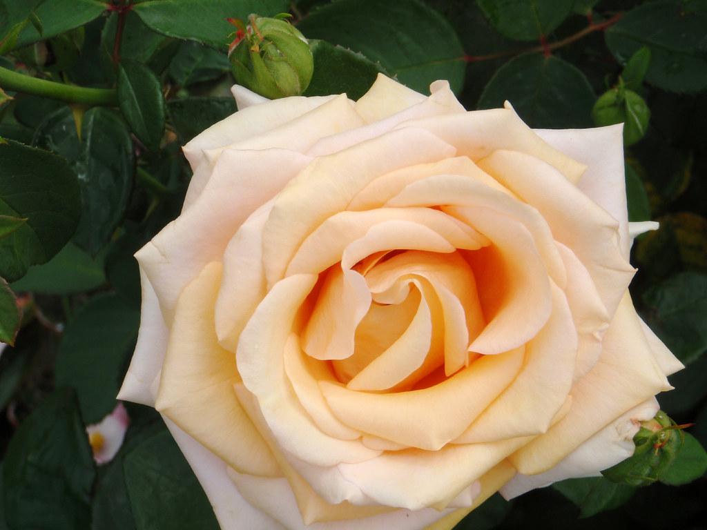 Duluth Mn Rose Garden Qq123z Flickr