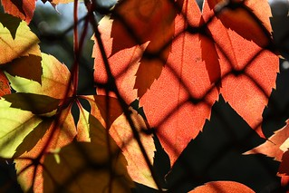 Autumn leaves 6 | by Mourner