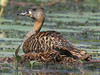 White-backed Duck, Lake Chilwa (Malawi), 26-Sep-08 by Dave Appleton