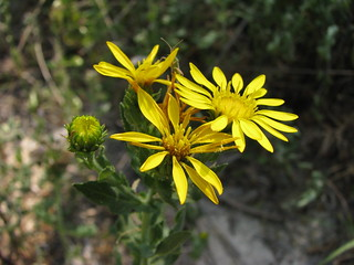 Picture a Day June 24, 2011 - Hoary False Goldenaster (Heterotheca canescens) at Medina River | by mlhradio