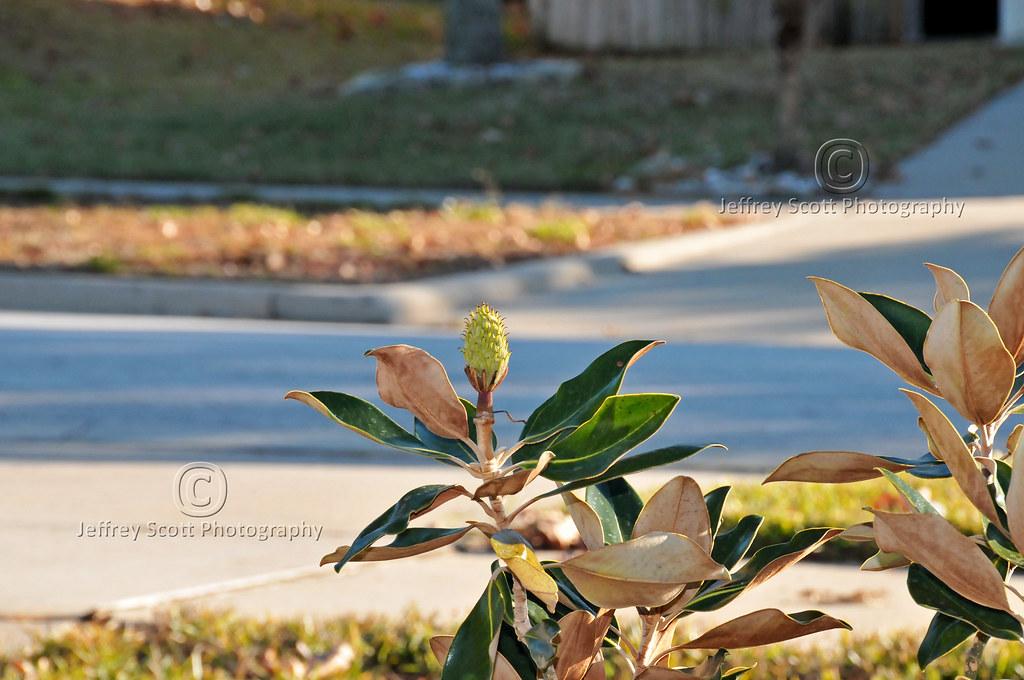 Baby Magnolia Tree A Shot Of A Baby Magnolia Tree