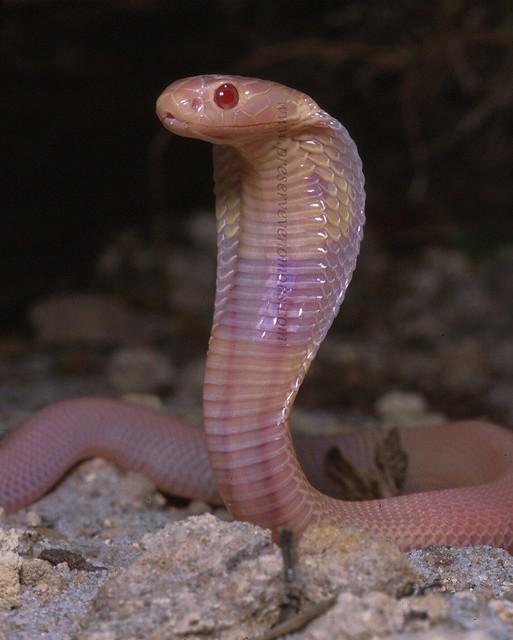 'Albino' Monocled Cobra - Naja kaouthia