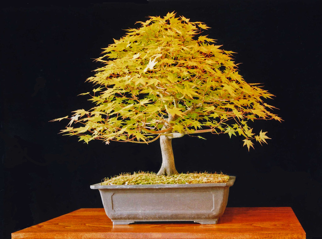 Japanese Maple Bonsai Tree Acer Palmatum This Image Is A Flickr