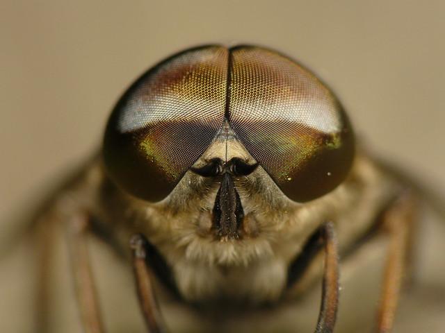 Horsefly Portrait (Tabanus autumnalis) #5