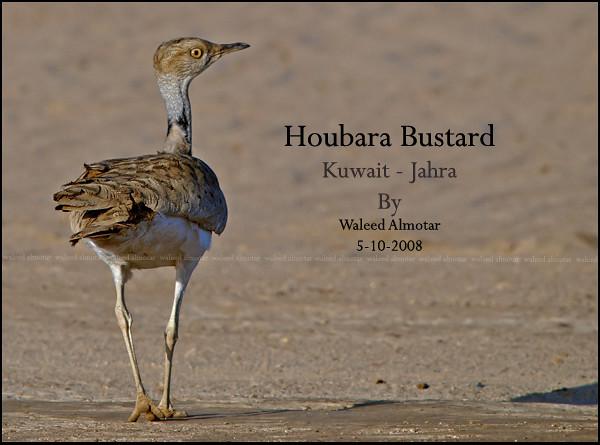 Houbara Bustard