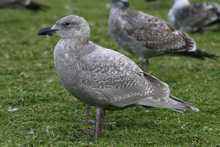 First Winter Glaucous-winged Gull | by brad.schram