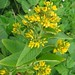 Yellow Loosestrife - Photo (c) fabelfroh, some rights reserved (CC BY-NC-SA)