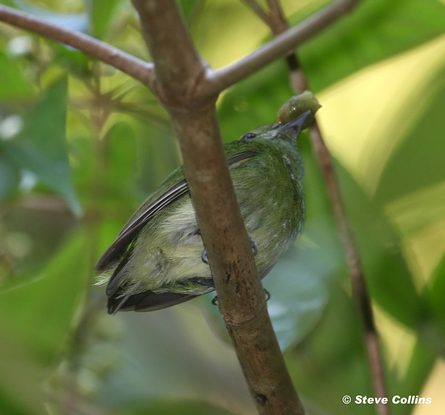 Blue-crowned Manakin (female) with fruit