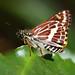 Hesperilla picta - Photo (c) photobitz,  זכויות יוצרים חלקיות (CC BY-NC-ND)