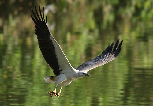 White-bellied Sea Eagle | by kampang