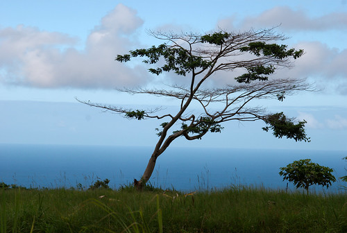 A single tree overlooks the ocean through a trick of perspective near the entrance to 'Akaka Falls.